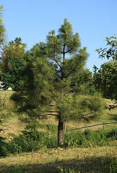 Pine, Tree, Forest, Branch, Landscape, Green