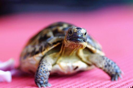 Turtle, Cub, Tan, Terrestrial, Greek, Little Turtle