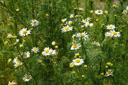 An Anthemis, Chamomile, Wrong, Herb, Montana, Plant