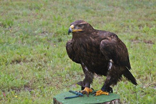 Bird Of Prey, Bird, Steppe, Adler, Animal