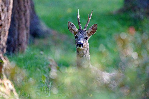Roe, Wild, Nature, Animal, Forest, Mammal, Curious