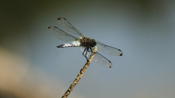 Dragonfly, Lake, Nature, Wing, Close Up, Animal World