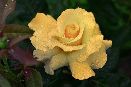 Rose, Blossom, Bloom, Nature, Beauty, Yellow, Raindrop