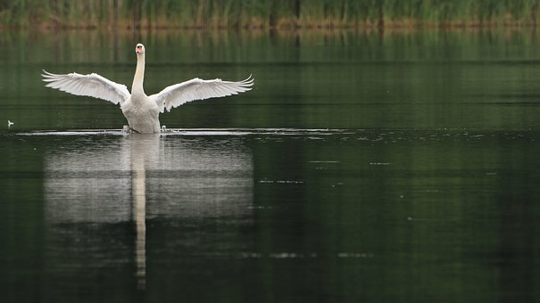 Swan, Lake, Nature, Water, Wing, Noble, Beauty