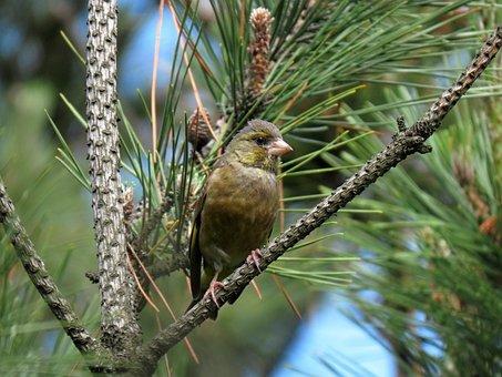 Animal, Bird, Wild Birds, Greenfinch, Forest
