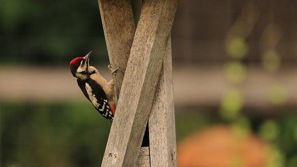 Woodpeckers, Bird, Nature, Animal World