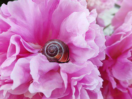Shell, Snail, Animal, Blossom, Bloom, Peony, Nature