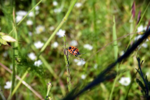 Common, Fire Bug, Beetle, Red, Black, Pattern, Nature