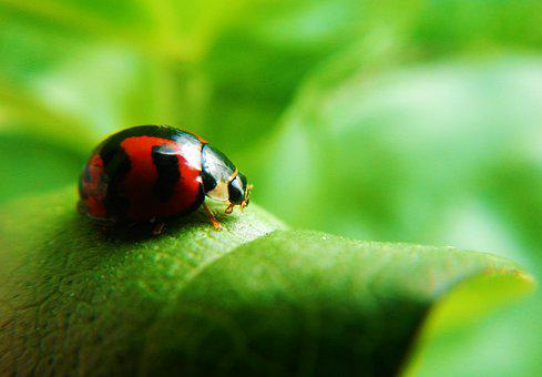 Coquito, Ladybug, Beetle, Insect, Nature, Bright