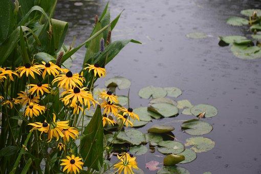 Water Lilies, Daises, Garden