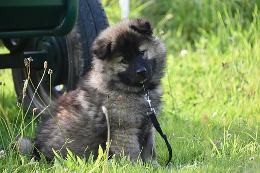 Dog, Pup, Puppy, Eurasier Puppy, Bitch Plinn-blue
