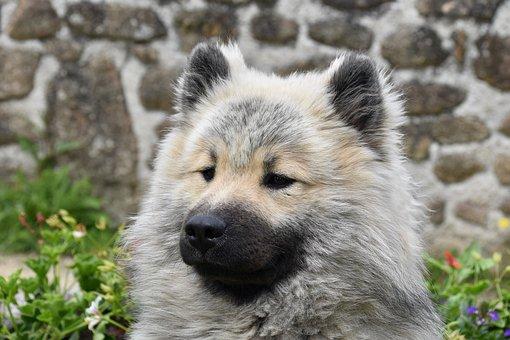 Dog, Dog Eurasier, Pup, Dog Olaf-blue, Doggie
