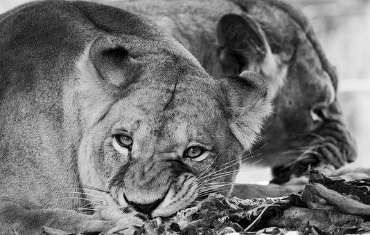 Lion, Predators, Animals, Dangerous, Eat