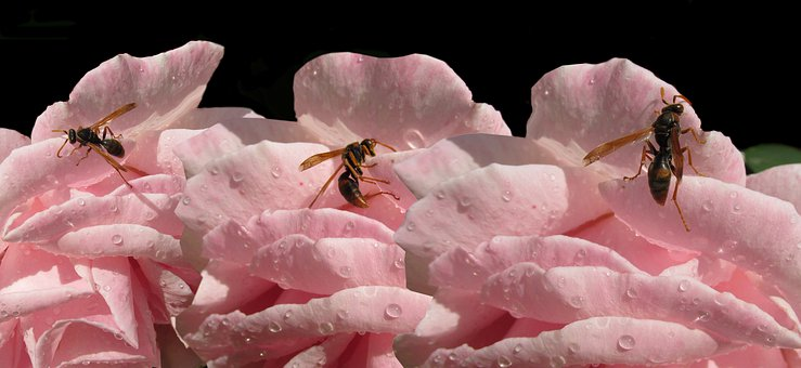 Wasps, Insects, Drinking, Water Drops, Rose, Flower