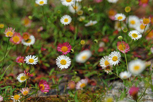 Spanish Daisies, Daisy, Garden, Filigree, Flower