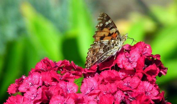 Butterfly, Insect, Flower, Gożdzik Stone, Nature, Wings