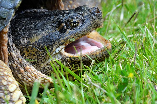 Turtle, Snapping Turtle, Large, Crawling, Head, Angry