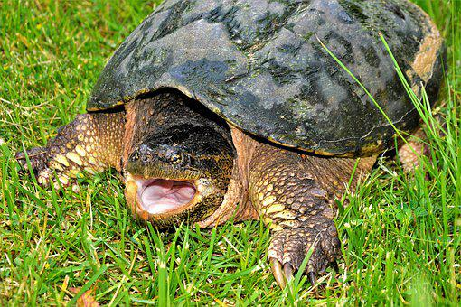 Turtle, Snapping Turtle, Open Mouth, Hissing, Crawling