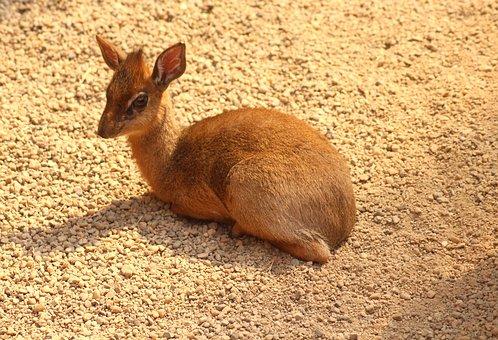 Dikdik, Little Antelope, Animals, Mammals, African