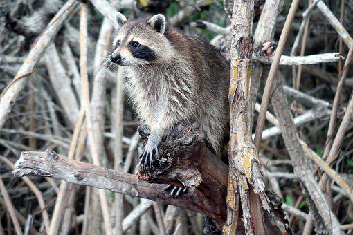 Raccoon, Show, Raccoons, Mangrove Forests