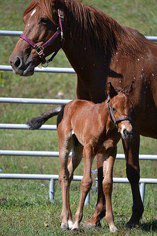 Horse, Farm Agriculture, Colt, Foal, Newborn, Mare