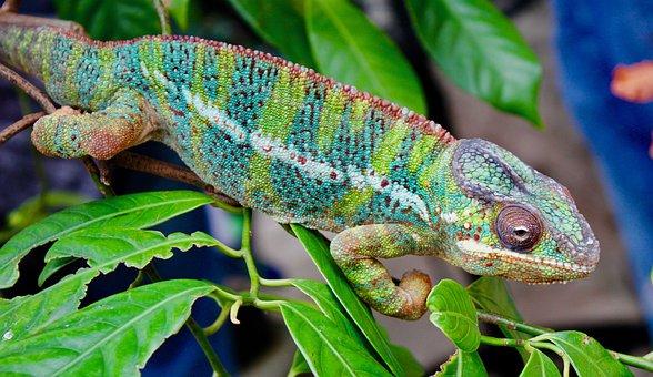 Chameleon, Nature, Reptile, Camouflage, Lizard