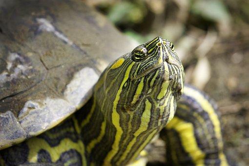 Fauna, Reptile, Turtle, Nature, Sunbathing