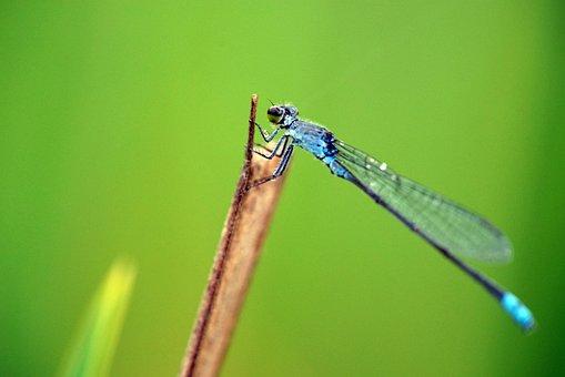 Dragonfly, Green, Nature, Summer, Grass, Demoiselle