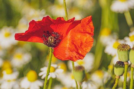 Poppy, Poppy Flower, Red, Klatschmohn, Nature, Summer