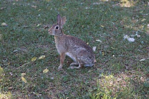 Animal, Rabbit, Nature, Photo, Rodent