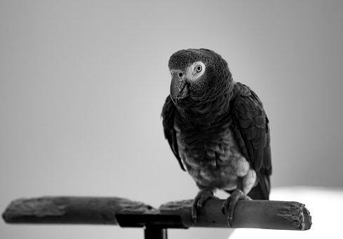 African Grey, Parrot, Grey, Congo Grey Parrot