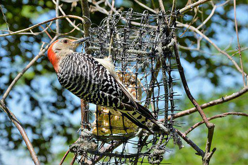 Woodpecker, Red-bellied, Pecking, Feeder, Sharp, Beak