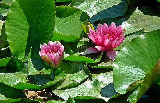 Water Lilies, Flowers, Water Lily, Pond, Pink