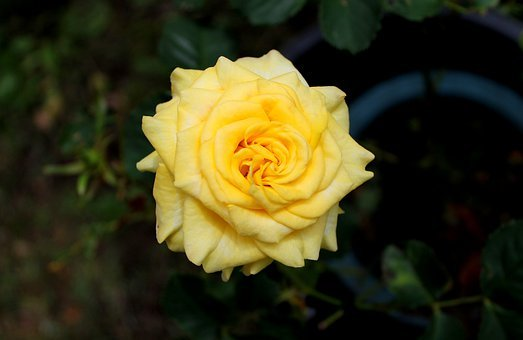 Roses Flowers, Yellow, Leaf, Plant, Natural, Branch