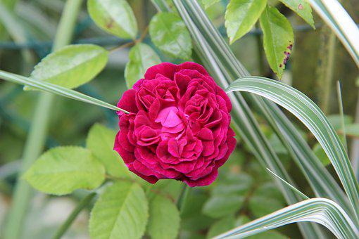 Pink, Old Rose, Red Rose, Rustic, Flowering
