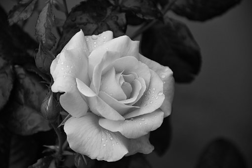 Flower, Rose, Monochrome, Rose Bloom, Raindrop, Blossom