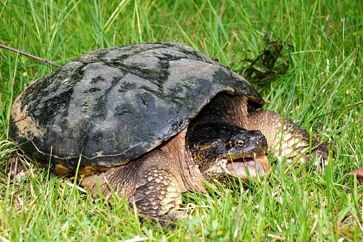 Turtle, Snapping Turtle, Snapping, Large, Body, Walking