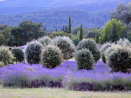 Lavender, Drôme Provençale, Tree, Sun, Heat, Holiday