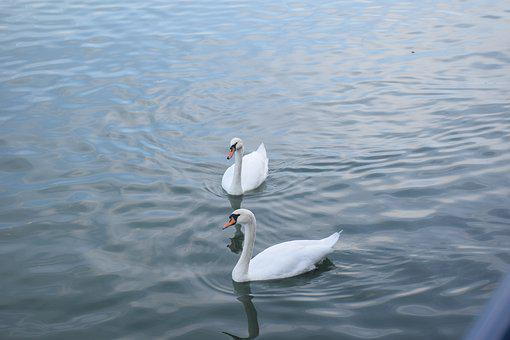 Swans, Birds, Mates