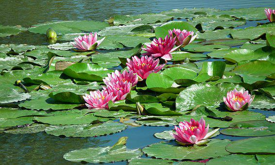 Water Lilies, Flowers, Pond, Water Lily, Pink, Summer