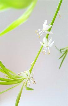 Chlorophytum Comosum, Air Purifier, Feng Shui