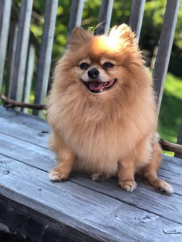 Pomeranian, Dog, Pet, Animal, Cute, Canine, Adorable