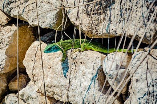 Emerald Lizard, Lizard, Reptile, Animal, Shed Lizard