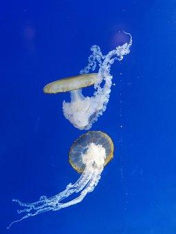 Jellyfish, Animal, Underwater, Ocean, Sea, Nature
