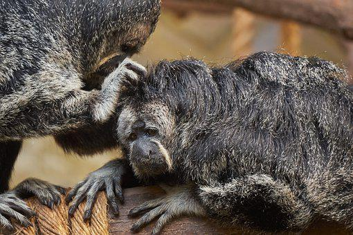 Mono, Saki Monkeys, Primates, Mammals, Primate, Animals