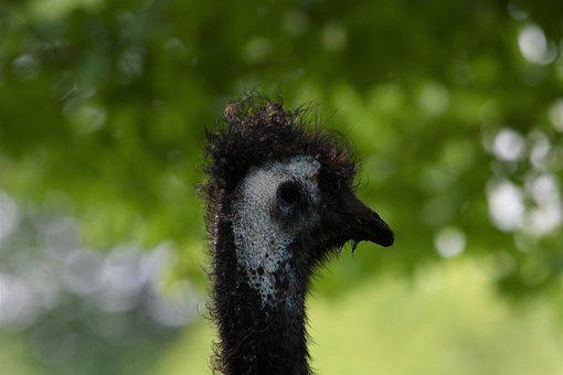 Emu, Bird, Zoo, Black, Beak, Feather