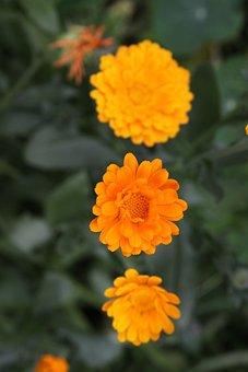 Flower, Marigold, Garden, Blossom, Bloom, Nature, Plant