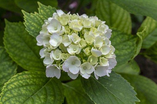 Hydrangea, White, Flower, Flowers, Blooms At