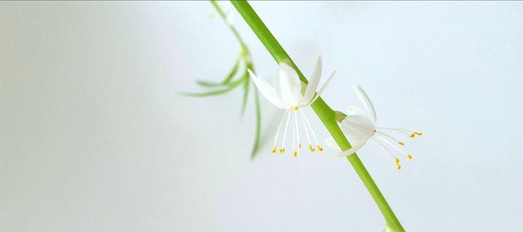 Chlorophytum Comosum, Green, Branch, Blossom, White