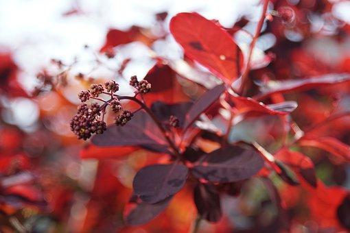Spring, Cottinus Coggygria, Red, Bush, Nature, Plant